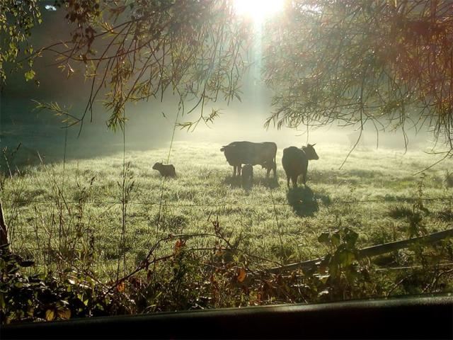 Die Kühe auf der Wiese im Morgenlicht